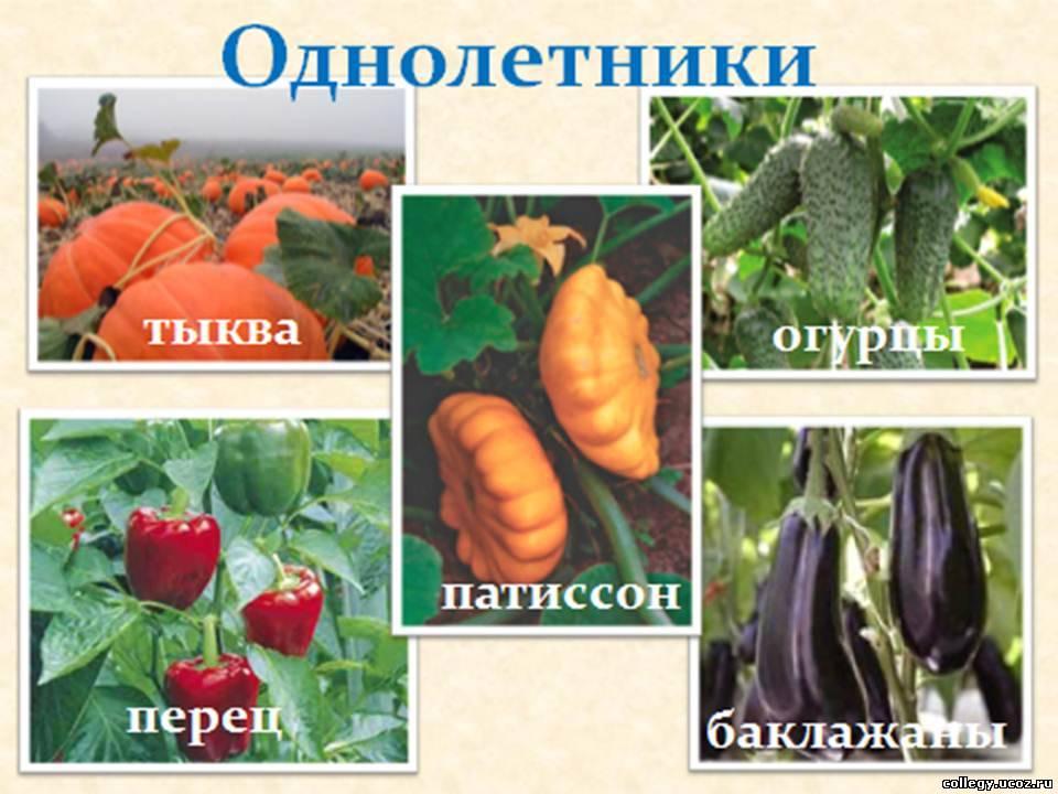 К какой группе овощей относится брюква